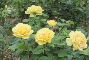 Поздние розы, фото