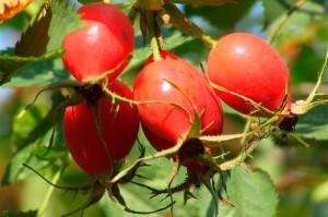 Плоды шиповника, фото