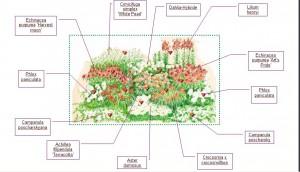 Схема цветника с флоксами и эхинацеей, фото
