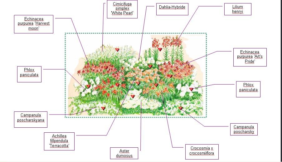 Схема цветника с флоксами и