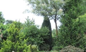 Хвойные растения, фото