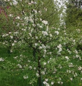 Июнь в саду, фото