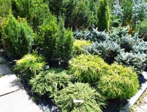 Коллекция хвойных растений, фото