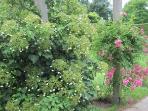 Лианы в саду, фото