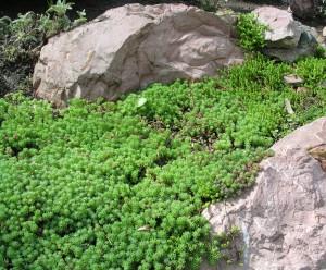Почвопокровные в саду, фото