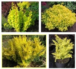 Растения с желтой листвой, фото