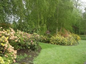рододендроны в саду, фото